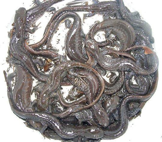bucket_salamander